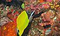 Long-nose Butterflyfish (Forcipiger longirostris) (6053242848).jpg