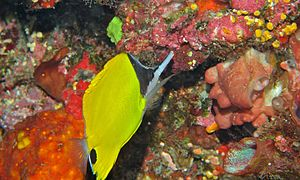 Long-nose Butterflyfish (Forcipiger longirostris) (6053242848).jpg