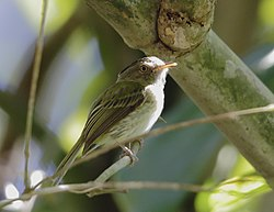 Lophotriccus eulophotes - Long-crested pygmy-tyrant.jpg