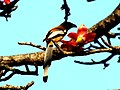 Lovely Times of Razzly Rufous Treepie on Tree.jpg