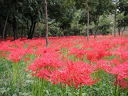 Lycoris radiata Ans1.jpg