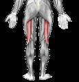Músculo biceps femoral.png