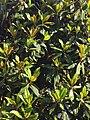 Magnolia a Modena.jpg