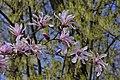 Magnolia c 03.jpg