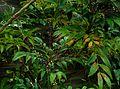Mahonia gracilipes fruits - Flickr - peganum (1).jpg