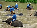 Mahouts Bathing Elephants - Thai Elephant Conservation Center - Hang Chat - Thailand - 01 (34406524943).jpg