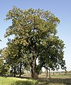 Mahwa tree, Umaria district, Madhya Pradesh, India.jpg