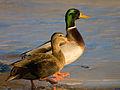 Male and Female mallard ducks.jpg