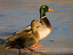 Male and Female mallard ducks.jpg