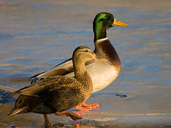 Two Mallard ducks (Anas platyrhynchos). Male a...
