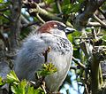 Male house Sparrow catching last few rays of sunshine. - Flickr - gailhampshire.jpg