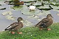 Mallards by the canal - geograph.org.uk - 541717.jpg