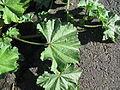 Malva parviflora leaf3 (15715973422).jpg