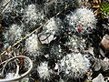 Mammillaria sphacelata (5736100665).jpg