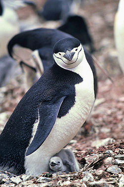 Myssypingviini