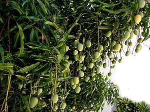 Mangifera indica - Mango, in moist Brazilian tropics