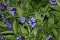 Mani ziedi My flowers - panoramio (36).jpg