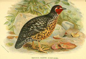 Manipur bush quail - Image: Manipur Bush Quail