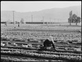 Manzanar Relocation Center, Manzanar, California. Evacuees of Japanese ancestry are growing flouris . . . - NARA - 537974.tif