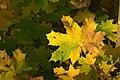 Maple Fall Colors (2981879649).jpg