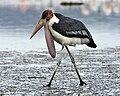 Marabou Stork (Leptoptilos crumeniferus).jpg