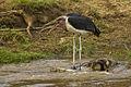 Marabou Stork - Mara - Kenya S4E1902 (15231769887) (2).jpg