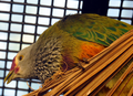Mariana Fruit Dove 1.png