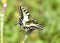 Mariposa rey 02 - papilio machaon - (470355740).jpg