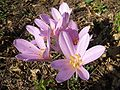 Marko autumn crocus.jpg