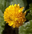 Marsh Marigold (4547458767).jpg