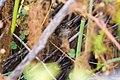 Marsh wren (35692803334).jpg