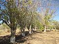 Marula trees in Kibbutz Ketura.JPG