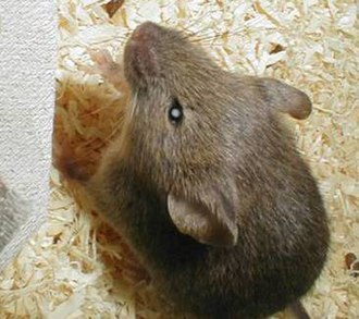 Conditioned place preference - Knockout mice are used to demonstrate behavioural or physiological differences