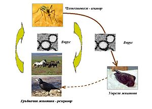 English: Mechanism of transmssion of West Nile...