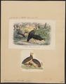 Megacephalon maleo - 1700-1880 - Print - Iconographia Zoologica - Special Collections University of Amsterdam - UBA01 IZ16900147.tif