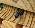 Megachile willughbiella ? Leafcutter Bee (35790530491).jpg