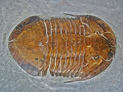 A fossil of the trilobite Megalaspides