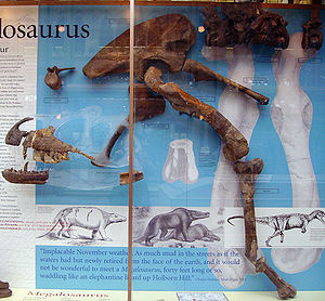 Megalosaurus - Fossil specimens referred to M. bucklandii, Oxford University Museum of Natural History. The display shows most of the original syntype series, including the lectotype dentary, identified by Buckland in 1824