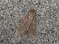 Meganephria extensa (15518107851).jpg