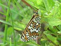 Melitaea cinxia - Glanville fritillary - Шашечница обыкновенная (26280421907).jpg
