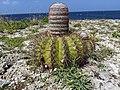Melocactus (melon cactus) from Cliff Villa Peninsula, Curacao.jpg