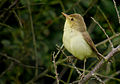 Melodious warbler (Hippolais polyglotta), Le Petit Loc'h, Guidel, Brittany, France (19986951092).jpg