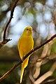Melopsittacus undulatus -Fort Worth Zoo -yellow-8a.jpg