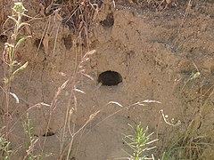 Merops apiaster burrow.jpg