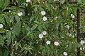 Merremia aegyptia (M pantaphylla) in Hyderabad, AP W IMG 2526.jpg