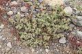 Mesembryanthemum crystallinum or M nodiflorum IMG 5587.JPG