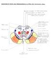 Mesencephalon Section.tif