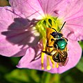 Metallic Green Bee (Buzz Pollination) (10266706876).jpg