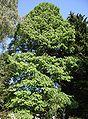 Metasequoia glyptostroboides 3.jpg