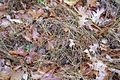 Microstegium vimineum 5501097.jpg